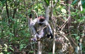 1840 der erste Zanzibar Rotkopf Guereza-Affe den wir sehen